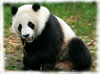 ANIMALS WALLPAPERS: panda cool facts, panda cool stuff ...
