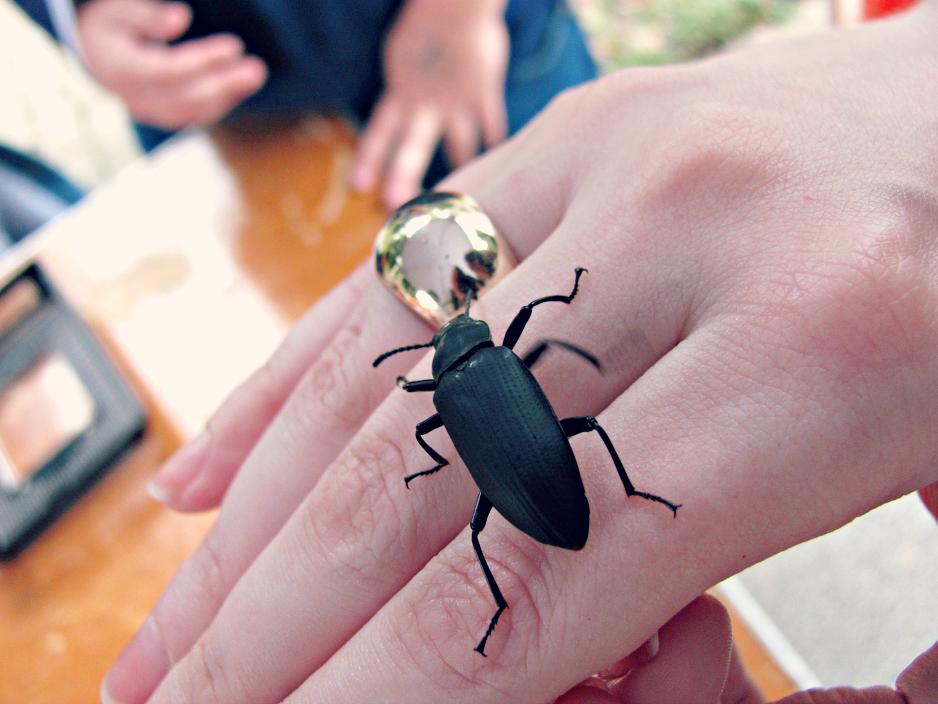 bugfest-2013-darkling-beetle-raleigh-nc