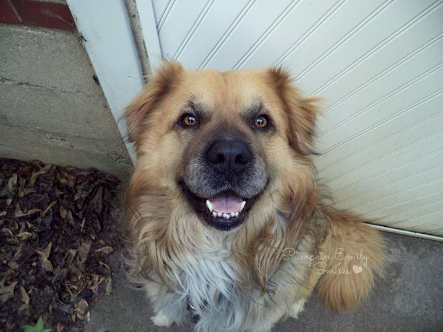 Rocky, German Shepard and Golden Retriever Mix