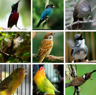 Bermacam-macam masteran Burung