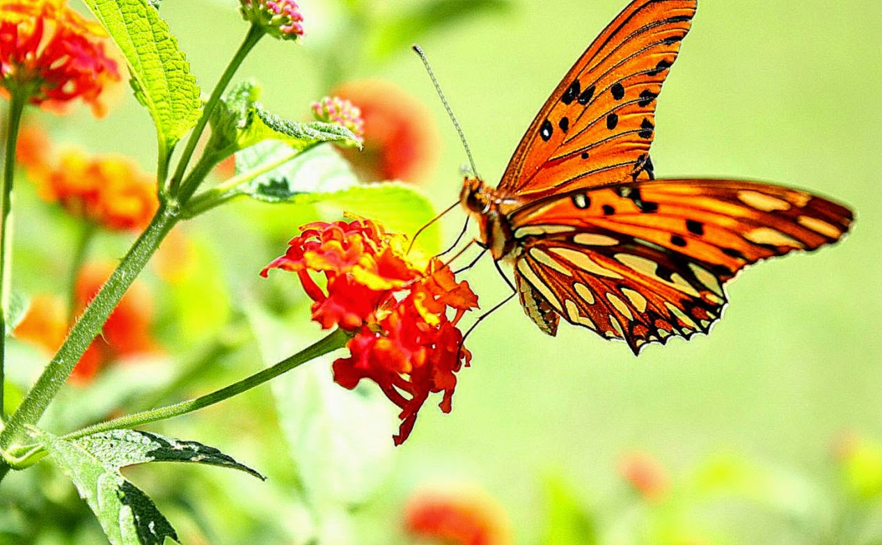 Beautiful Spring Photos Butterflies Wallpaper Free Hd Wallpapers