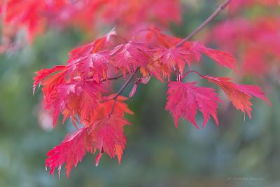 Herbstfärbung bei japanischer Ahorn Acer japonicum aconitifolium, Gehölze mit rotel Laub, Lieblingsgehölze Renate Waas, Pflanzplanung, Gartenplanung, Renate Waas