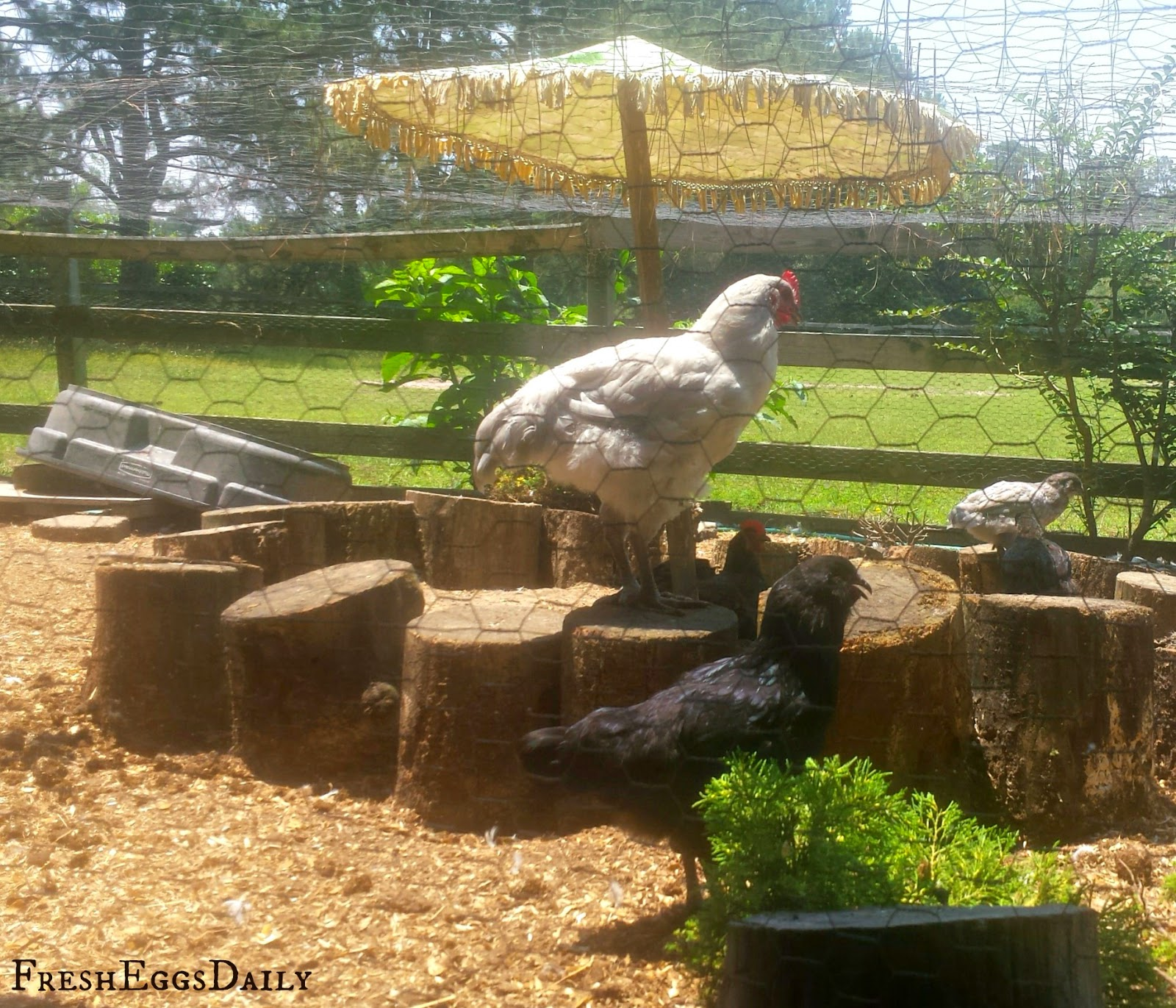 Build A Better Dust Bath For Your Chickens Fresh Eggs Daily 174