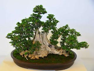 cara-mendapatkan-bahan-bonsai.jpg