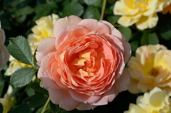 Lady of Shalott роза сорт фото купить саженцы Минск