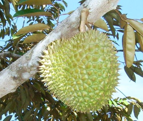 Durian ~ What's New Philippines?