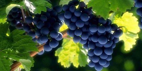 العنب يعزز جهاز المناعة وينشط عمل الكبد .