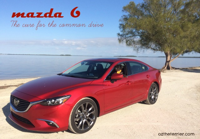 Oz the Terrier in dog-friendly 2016 Mazda 6 Grand Touring sedan with Skyactiv Technology