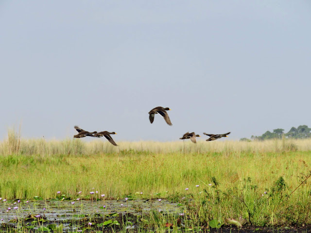 Yellow-billed ducks in flight over Mabamba swamp wetlands in Uganda