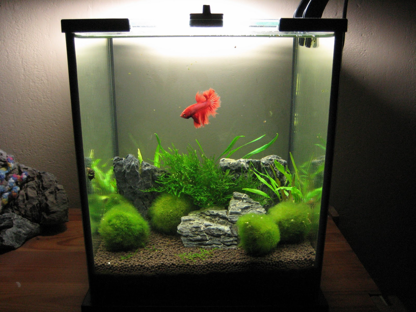 Planted betta tanks planted 10 gallon betta tank 2017 for Aquarium boule 20 litres