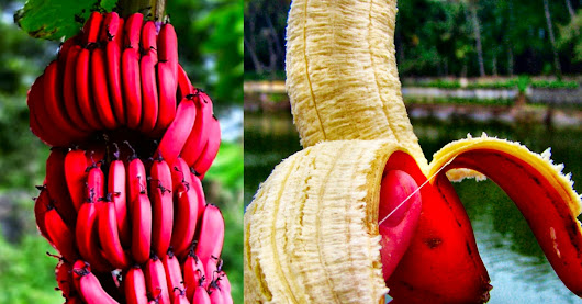"Amazing Health Benefits of Red Banana – They Call It the ""Special Fruit"" and Here's the Reason Why"