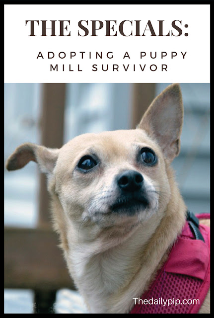 Why you rescue and adopt puppy mill survivors