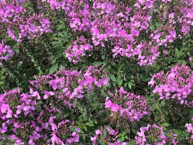 lila blühende Sommerblumen