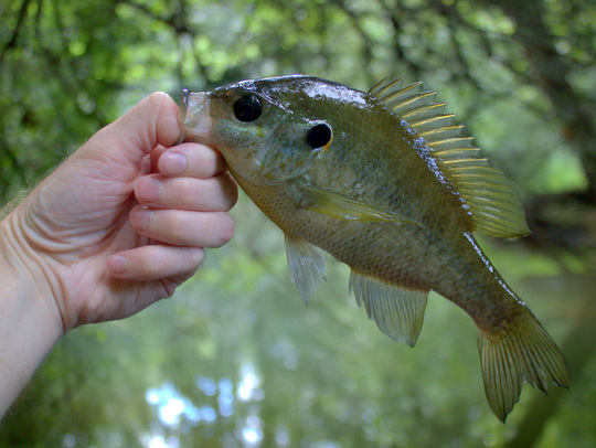 Redear sunfish from Byrd Lake at Cumberland Mountain State Park