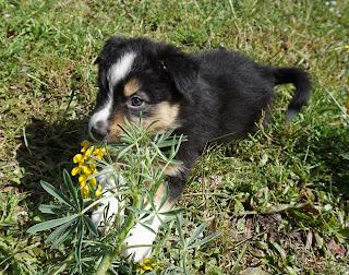 fotografia de um cachorro pastor australiano