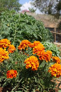 Κατιφές, french marigold