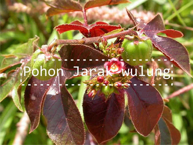 Image result for gambar tumbuhan jarak wulung