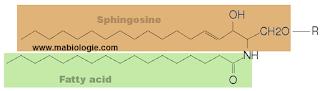 Les sphingoglycolipides sont des sphingomyélines et des sphingosines.
