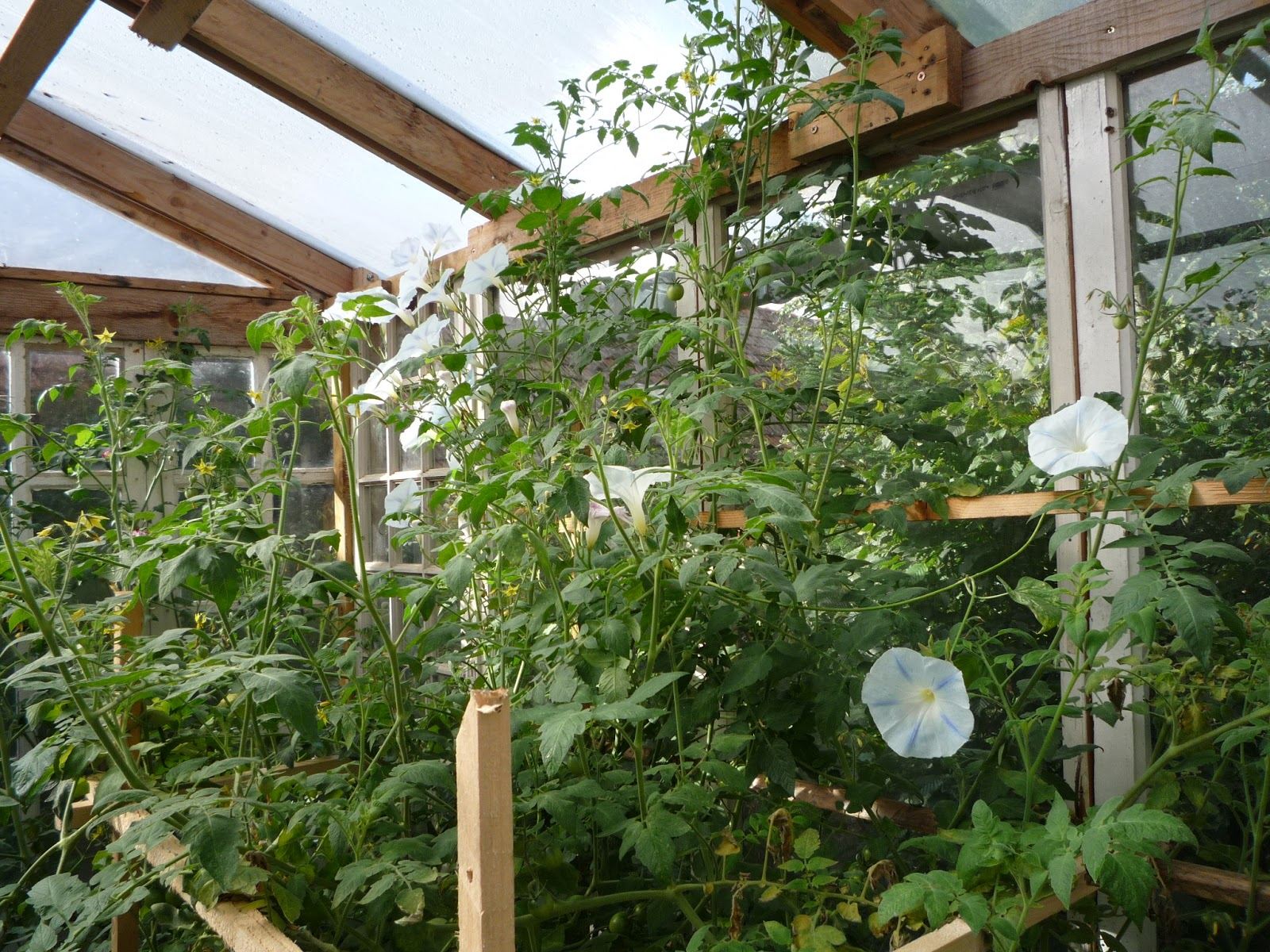 Companion planting in a glass greenhouse made from old windows