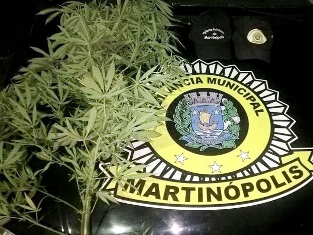 Guarda Municipal de Martinópolis apreende pé de maconha em terreno