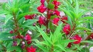 Jika Temukan Bunga Seperti Ini Kalian Sangat Beruntung! Tak Disangka Ternyata Bunga Ini Memiliki Sederet Manfaat Bagi Kesehatan!
