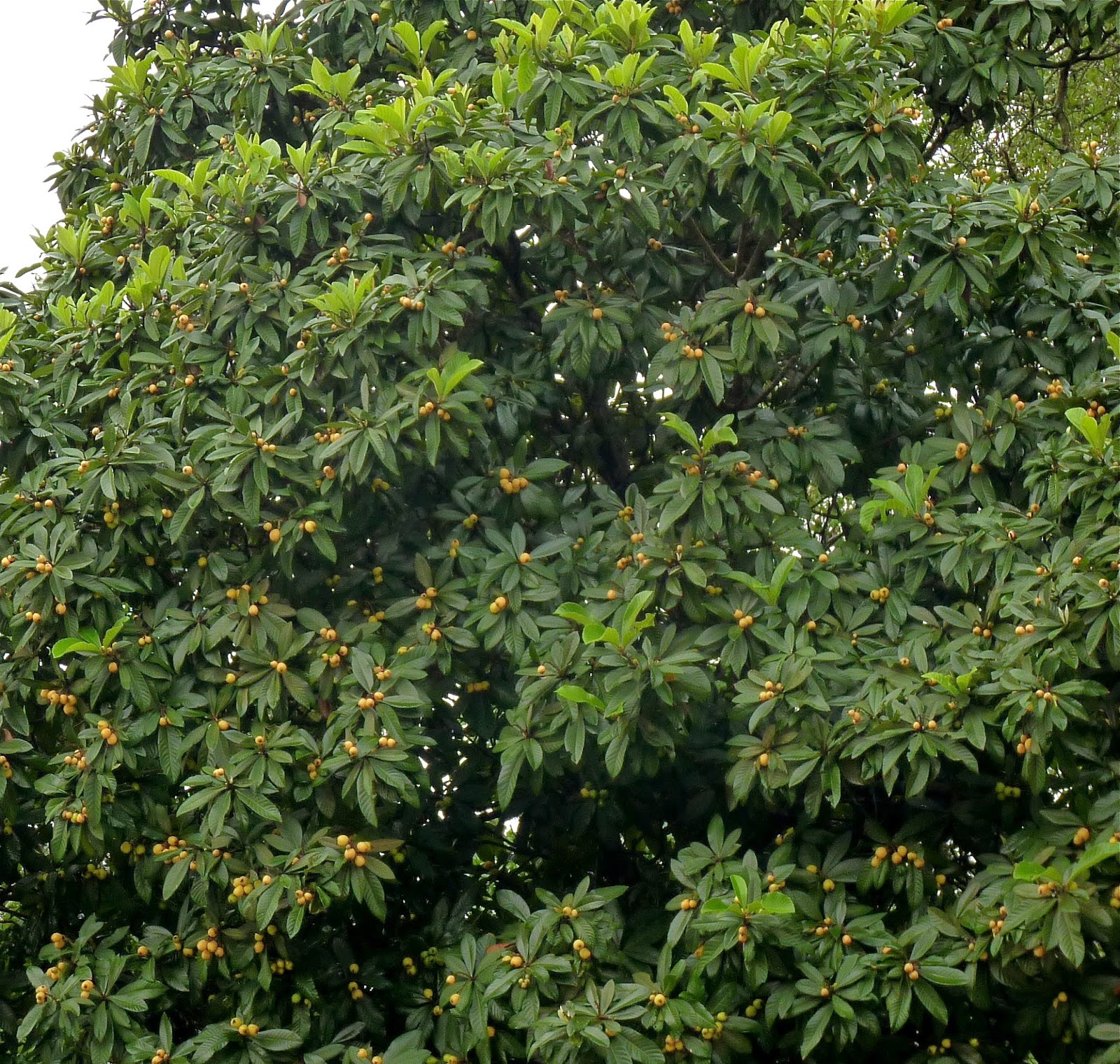 Meaning Of Loquat Pictures