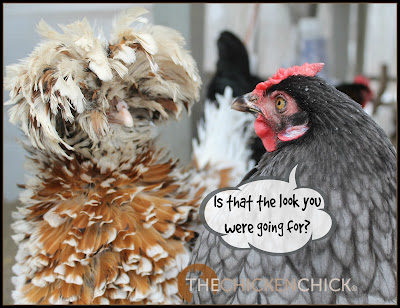 Tolbunt frizzled Polish hen  www.The-Chicken-Chick.com