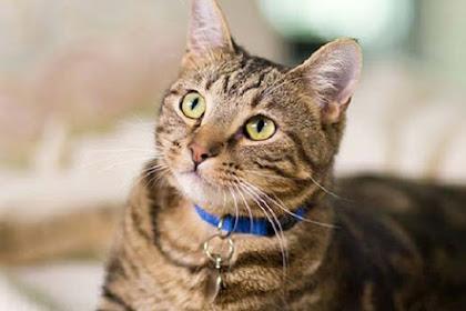 Ternyata, Kucing Rumah Mampu Usir Binatang Buas