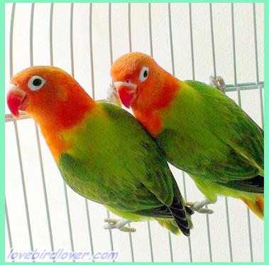 Unduh 430+  Gambar Burung Lovebird Resesif