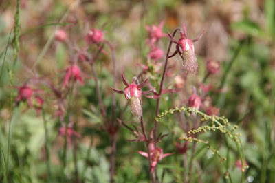 prairie smoke developing plumes