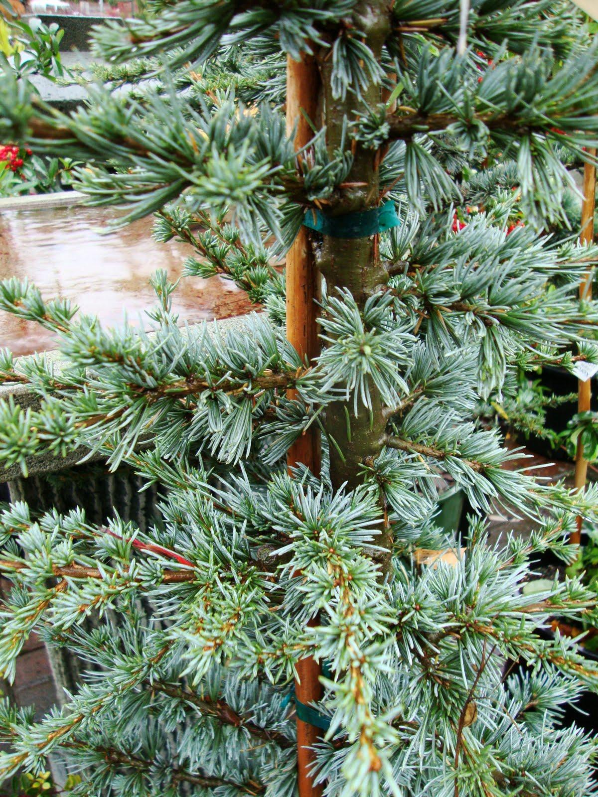 Danger Garden I M Dreaming Of A Blue Atlas Cedar Christmas