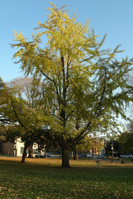Mature ginkgo biloba in the fall at Allan Gardens by garden muses: a Toronto gardening blog