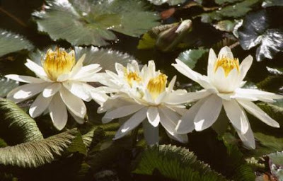 bunga teratai putih