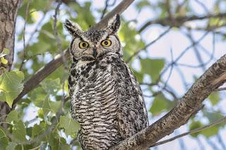 Great horned owl photo. Via Adobe Stock.