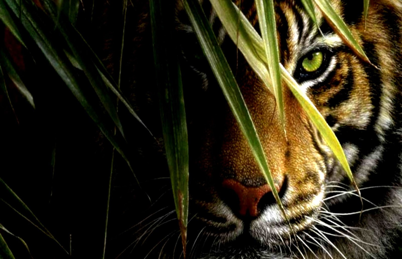 Tiger Wallpaper Hd For Desktop Wallpapers Link
