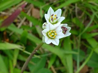 Nothoscordon inodore - Nothoscordum gracile