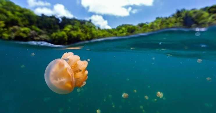 Palau'daki Denizanası Gölü'nde eşi benzeri görülmemiş canlılar yaşamaktadır.
