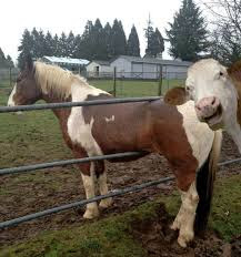 Clever horse stuck in fence gate