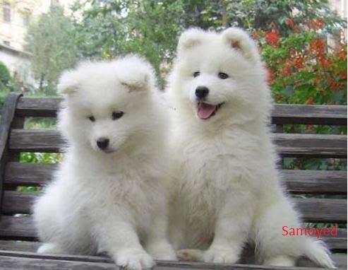 giống chó đẹp đáng yêu