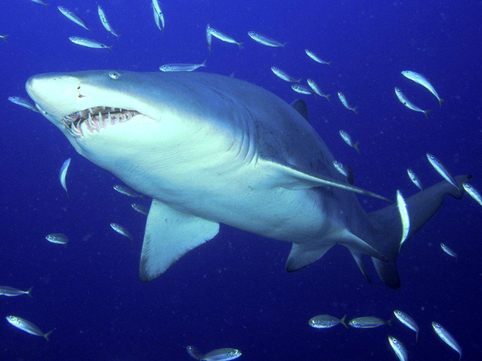 download wallpaper shark 1600 - photo #14