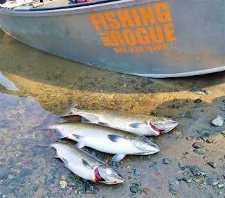 fishing-the-rogue-3-king-salmon