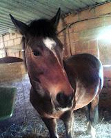 cheval jument Koline