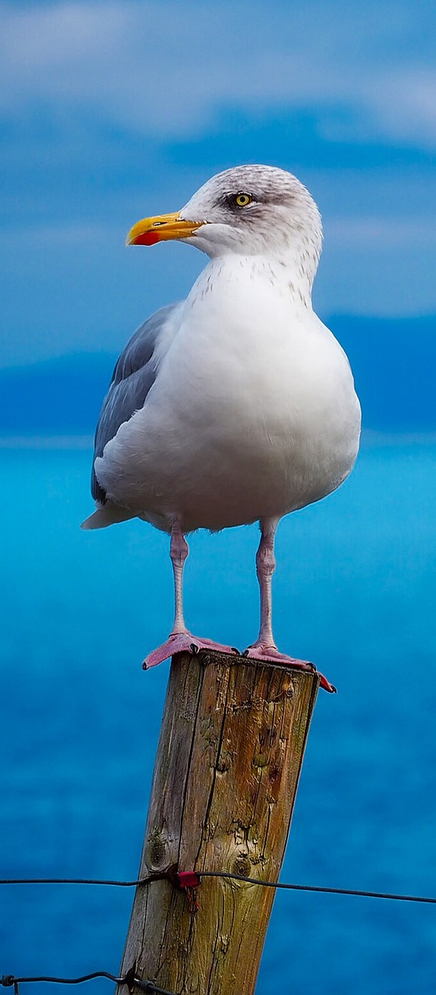 Seagull bird standing on a wood post.
