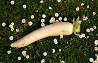 Manfaat sayuran lobak untuk kesehatan dan kecantikan