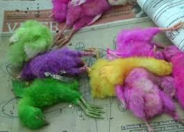 PINTOS PINTADOS A PINCEL - A moda dos pintinhos coloridos https://mundoanimalevidaselvagem.blogspot.com.br