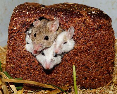 Anak Tikus - Cara Mengusir Tikus