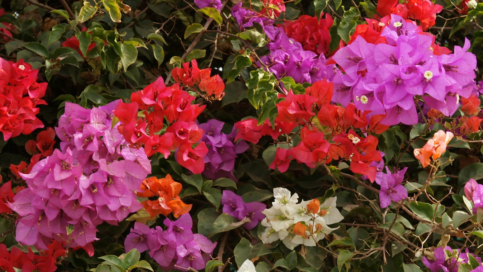 Floral Wallpaper For Iphone 5 Bougainvillea Wallpaper Flower Dreams