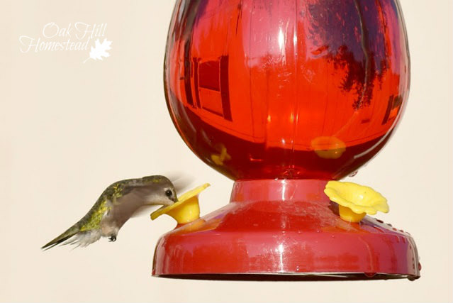 How to attract hummingbirds to your yard to eat aphids, mosquitoes and other insect pests.
