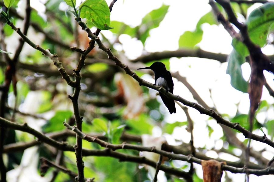 kolibri vogel natur panama