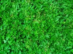 Jual Rumput Gajah Mini | Jasa Tanam Rumput Gajah Mini | Tukang Rumput Gajah Mini